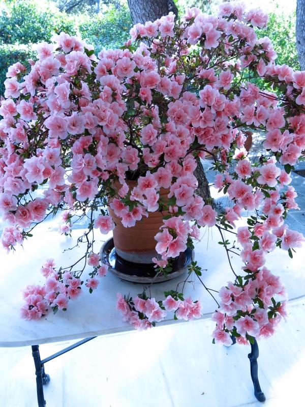 Spring: Azalea