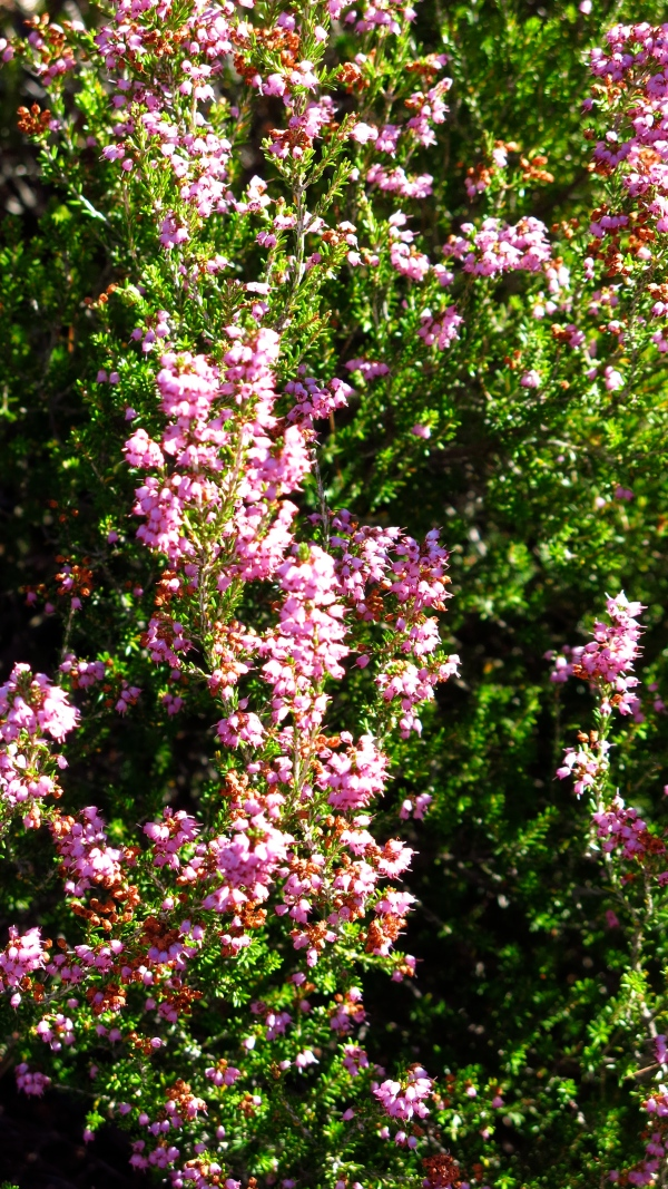 The last of the Heather
